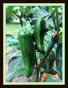 Jeff's Peppers image